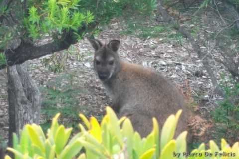 EDGE of the BAY Resort, wallaby